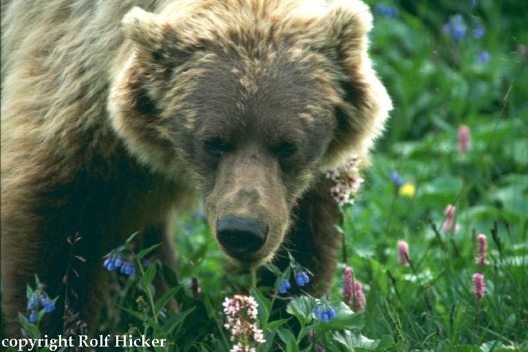 Denali National Park - Grizzly (c) Rolf Hicker